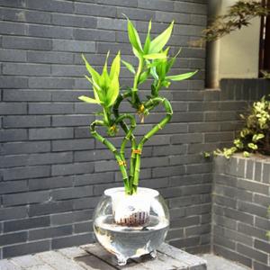 属龙舌兰科龙血树属.原产于非洲西部的喀麦隆