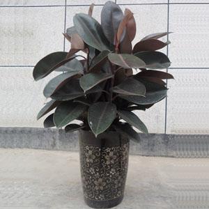 大型观叶植物 > 橡皮树