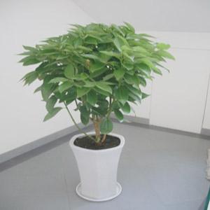 盆栽植物平安树_平安树_成都市绿江南园林绿化有限公司