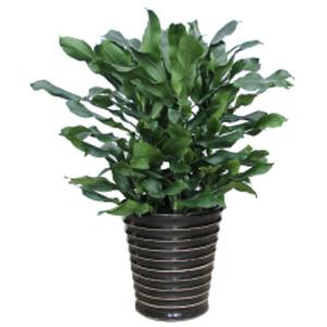 花卉展示 植物租赁 大型观叶植物 > 螺旋铁   螺旋铁,百合科,香龙血树