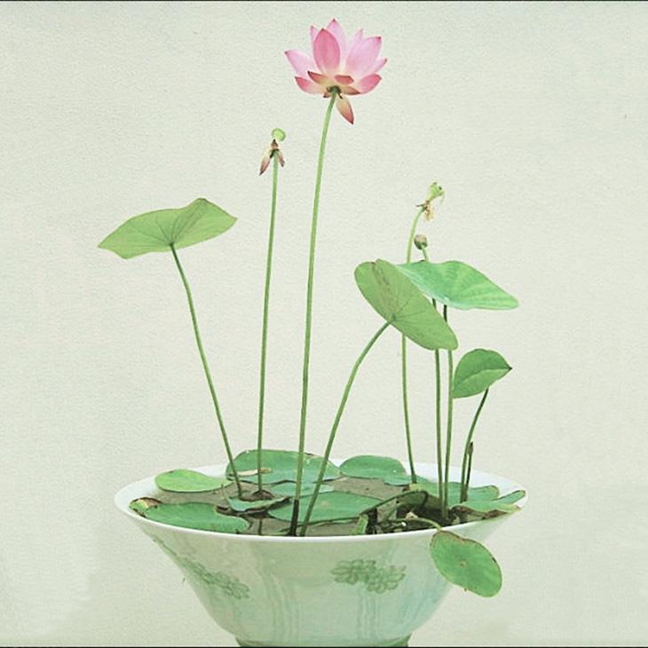水生花卉_水生荷花_成都市绿江南园林绿化有限公司