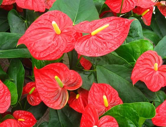 今天成都植物租赁绿江南园林绿化有限公司给大家说一下,红掌是很多人都喜欢的花卉,红掌色泽鲜艳华丽,是世界名贵化卉,其花语是大展宏图、热情。红掌具有很好的净化室内空气的作用,吸收空气中对人体有害的苯和三氯乙烯,还能调节室内空气湿度,是家居养植花卉的首选之一。红掌中文名:花烛又叫火鹤花,天南星科多年生常绿草本植物,红掌的花梗细长,挺直,其外形独特,叶片翠绿,火红的佛焰苞花序置身其上,红与绿的搭配显的那样的惹眼,比起其它花卉来说不怎么好养。成都植物租赁绿江南园林绿化有限公司就来为大家说一下家庭红掌的养殖方法和注意