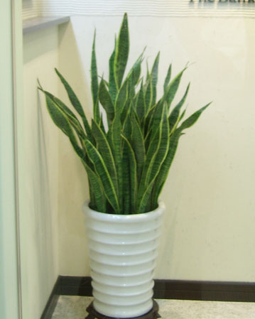 虎尾兰植物+室内
